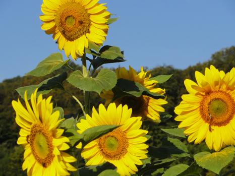 Jahreskreis  Sommersonnwende 21. Juni - Sonnenfest, Höhepunkt, Wärme